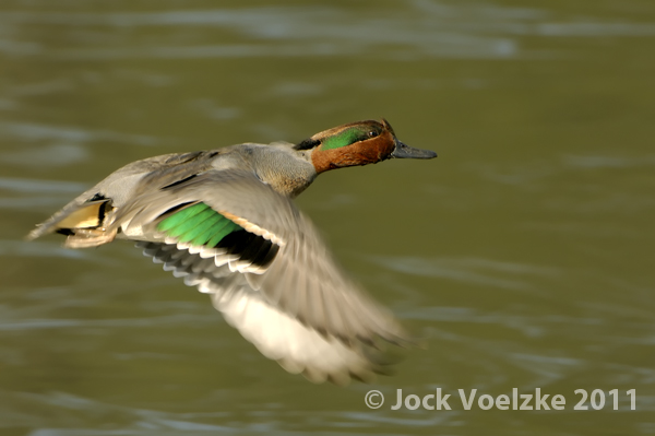 Green Winged Teal 221