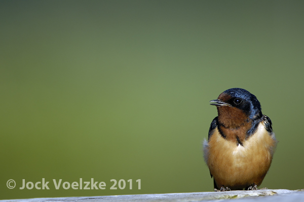 Barn Swallow 40