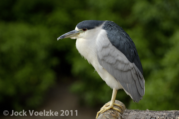 Black Crowned Night Heron 6