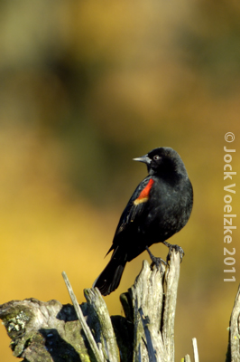 Red Winged Blackbird 15