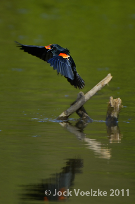 Red Winged Blackbird 127