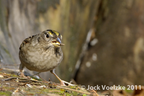 Golden Crowned Sparrow 29